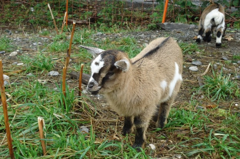 Les chèvres naines vous attendent…