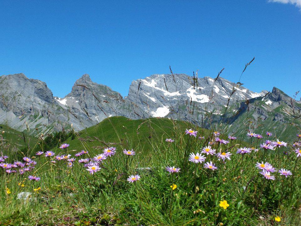 Sentier botanique_aster des alpes