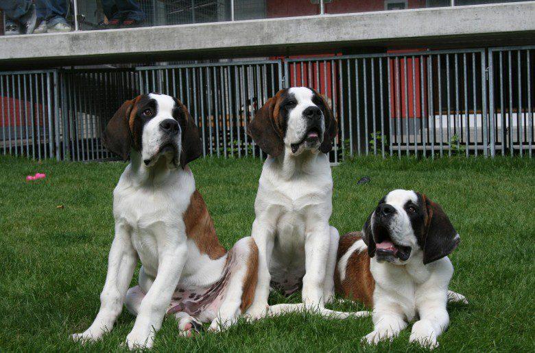 MUSEUM & ST BERNARD DOGS